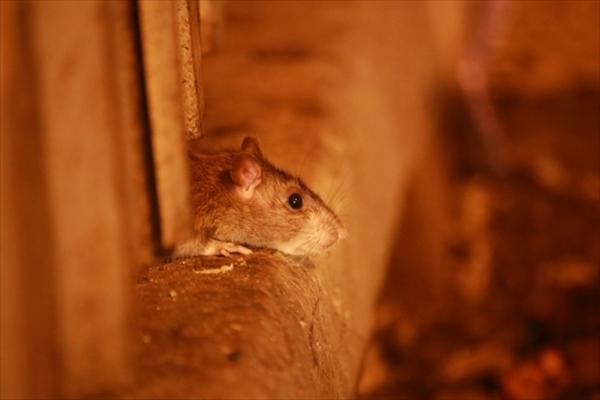 家に住み着いたネズミは害獣